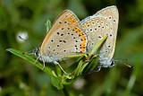 Sex on Leaves / Common Blue (polyommatus icarus)