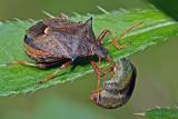 Predator (picromerus bidens)