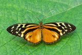 Orange Spotted Tiger Clearwing