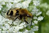 Bee Beatle (trichius fasciatus)