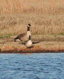 Cackling Geese for Christmas