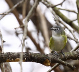 White-eyed Vireo Immature