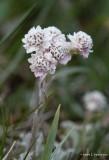 Kattefot (Antennaria dioica)