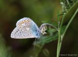 Almindelig blåfugl (Polycommatus icarus)