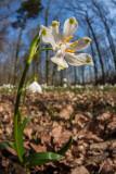 Märzenbecher (Leucojum vernum) 8
