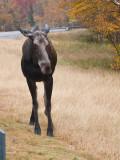 Moose, NH