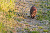 Mink with dinner