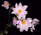 Dahlia imperialis  ~Tree Dahlia~  Can grow to at least 15 feet tall