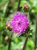 A busy bee on a thistle