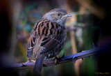 Dunnock. Barnwell Country Park, Oundle. UK