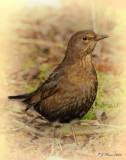 Black Bird (Female) Barnwell. Country Park. Oundle. UK