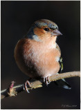 Chaffinch. Barnwell Country Park. Oundle. UK