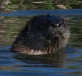 Water mammal face on_MG_5454.jpg