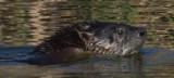Water mammal side view clear_MG_5461.jpg