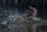 Water mammal tongue_MG_5467.jpg