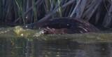 Water mammal paw_MG_5471.jpg