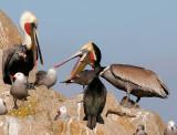 Do pelicans eat seagulls?_MG_5467.jpg