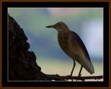 BIRDS IN GOA IN INDA 2