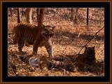 TIGERS IN KARNATAKA, INDIA