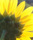 Day 6: Morning Sunflower