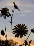 Day 7: Evening Sunflower Silhouette