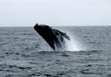Whale watching, Monterey, Ca.