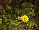 Isopogon anemonifolius