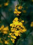 Dillwynia floribunda
