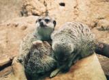 120A_meerkats.JPG