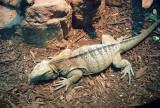 218A_endangered_jamaican_iguana.JPG