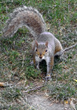 4553 gray squirrel.JPG