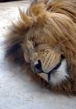 4493 barbary lion.JPG