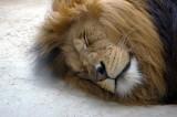 4496 barbary lion.JPG