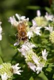 4892 honeybee.JPG