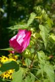 4896 hibiscus.JPG