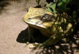 4914 green frog.JPG