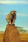 4917 meerkat.JPG