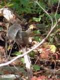 130156 gray squirrel.JPG