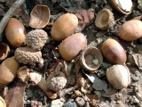 130169 acorns 1.JPG