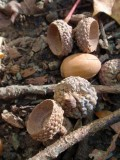 130171 acorns 2.JPG