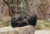 5969_chimps.JPG