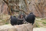 5971_chimps.JPG