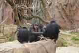 5972_chimps.JPG