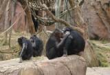 5981_chimps.JPG