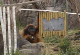 5987_orangutan.JPG