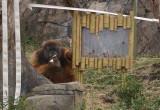 6005_orangutan.JPG