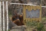 6013_orangutan.JPG
