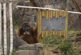 6014_orangutan.JPG