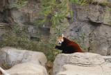 6018_red_panda.JPG