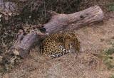 6036_jaguar.JPG